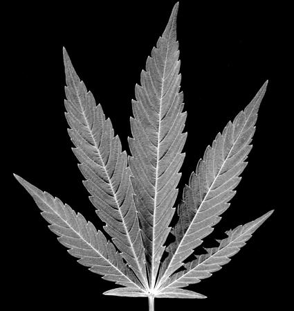 Fumar mariguana reduce IQ en jóvenes: estudio