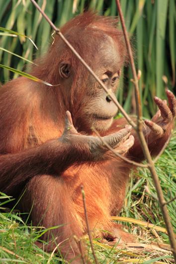 Usan tabletas simios de zoológicos en EU y Canadá