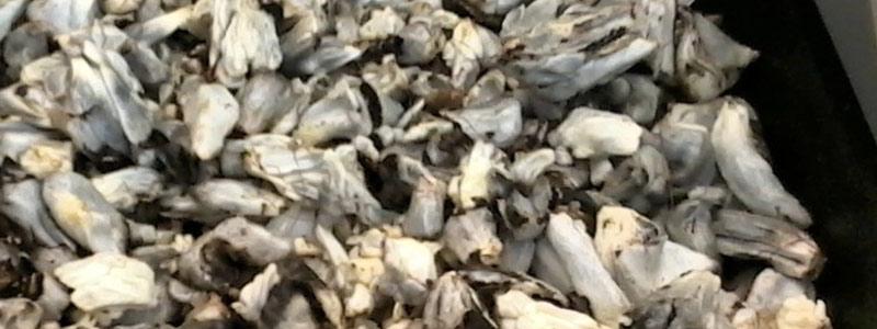 Evalúan propiedades del huitlacoche para control de diabetes
