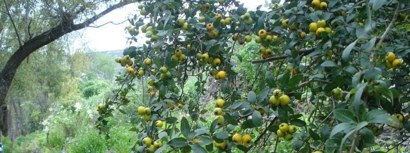 Proponen uso de vitamina C para obtener pectina
