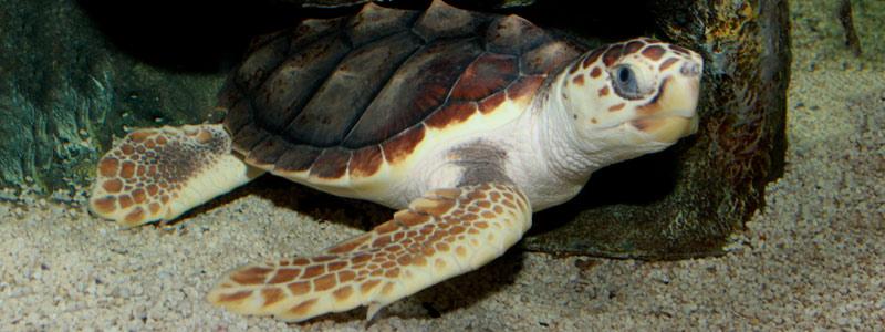De Tamaulipas a Nicaragua: los intrépidos viajes de las tortugas marinas