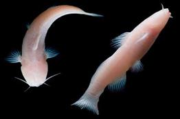 Preparan en la UNAM estrategia para la conservación de peces de agua dulce