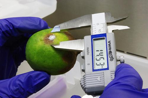 Crean científicos mexicanos formula que protege frutas con bacterias y levaduras marinas