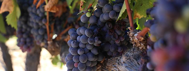 El hongo que amenaza al vino mexicano