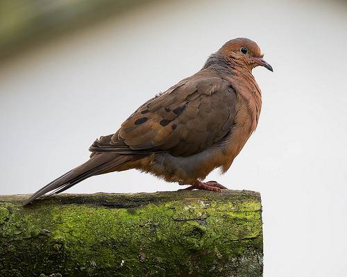 Tras 40 años de extinción, investigadores buscan reintroducir una especie de paloma a Isla Socorro