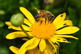 Ante crisis de polinizadores, investigadora impulsa el papel de abejas silvestres en la conservación ecológica