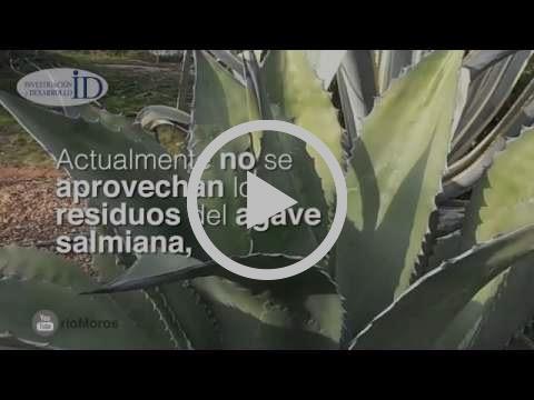 Obtiene ingeniero politécnico plástico biodegradable del agave pulquero