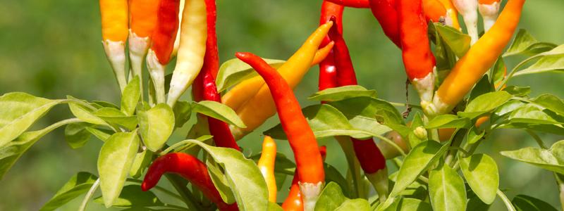 Microbiota en raíces, clave para mejorar las plantas de chile