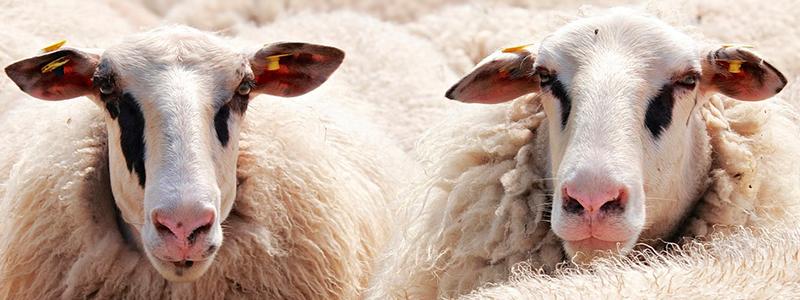 Con desechos orgánicos, investigador oaxaqueño desarrolla alimento para ovinos